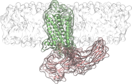 Arrestin loops interact directly with the membrane adjacent to the GPCR. Figure: Jana Selent, Pompeu Fabra University.